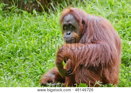 Portrait of female orangutan (Pongo pygmaeus)
