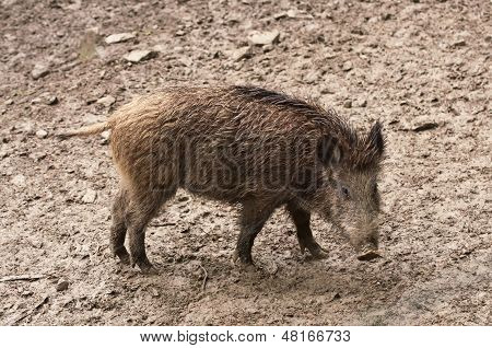 Wild Boar In Their Natural Environment