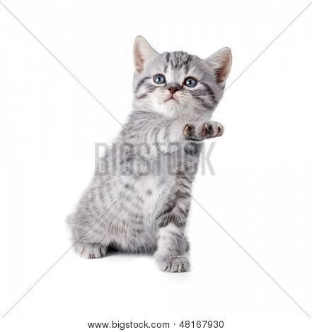 british gray kitten gives paw