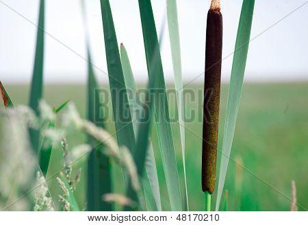 Reedmace In A Swamp