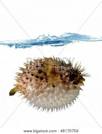 Blown Up Blowfish