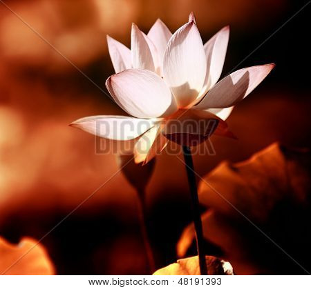 botão de flor de lótus