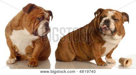 English Bulldog Arguing Over Dog Bone