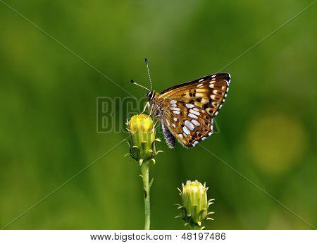 Duke Of Burgundy (hamearis Lucina) Butterfly