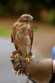 Red-shouldered hawk sits perched on gloved hand of nature center animal specialist. poster