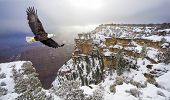 Bald eagle flying above grand canyon poster