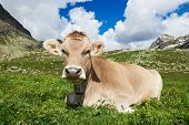 milck cow with grazing on Switzerland Alpine mountains green grass pasture over blue sky poster