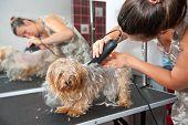 Female groomer haircut Yorkshire Terrier poster