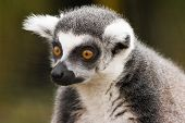 Portrait of Ring-tailed lemur sitting and staring poster