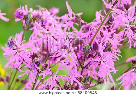 Coronaria Flos-cuculi (lychnis Flos-cuculi) Flowers