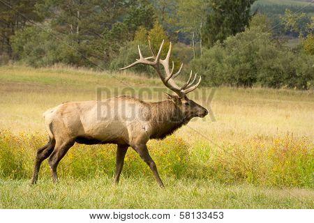bull elk in stride