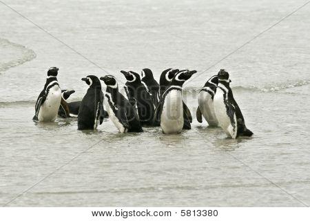 Magellanic Penguins (spheniscus Magellanicus)