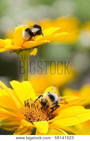 Bumble Bees On Sunflowers In Summer