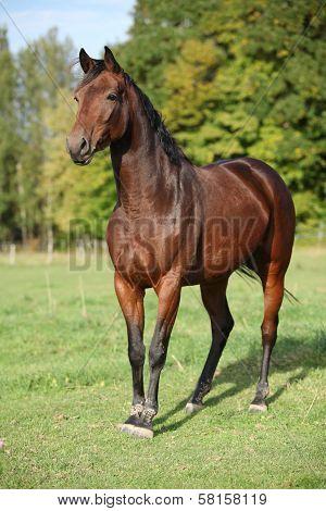 Nice Brown Warmblood With Black Mane