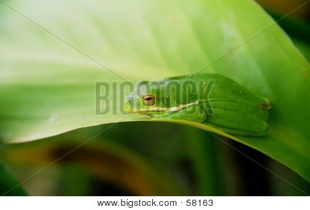 frog on a leaf side view poster