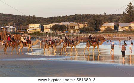Camels On Stockton Beach. Port Stephens. Anna Bay. Australia.