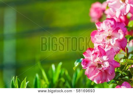 Pink Flowers On Green Background With Copy-space