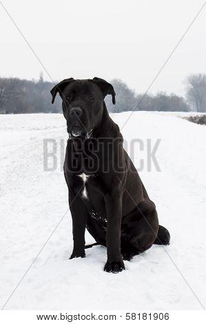 Cane Corso In Snow