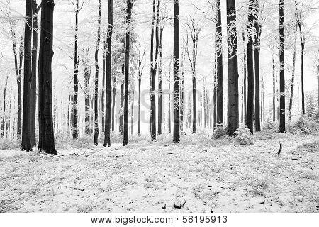 Winter Beech Forest