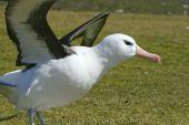 Black-browed albatross (Diomedea melanophris) on Saunders Island Falkland Islands poster