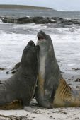 Two young southern seal bulls (Mirounga leonina) fighting at the beach on Seal Lion Island Falkland Islands poster