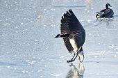 A Canada Goose Landing on Frozen Lake poster