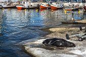 Sea lion basking in the sun in the marina port of Punta del Este Uruguay poster