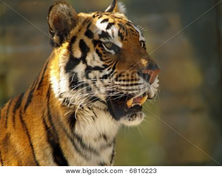 Tiger Face Closeup Showing Some Mean Teeth