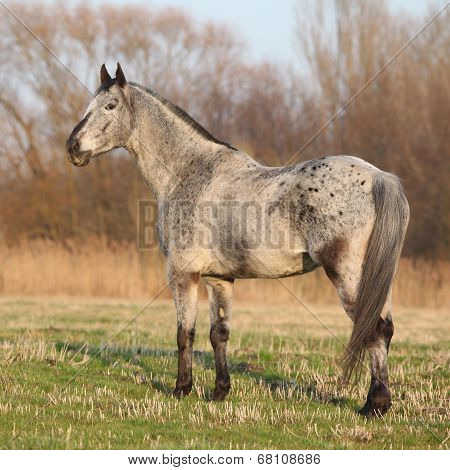 Gorgeous Appaloosa Standing In Nature