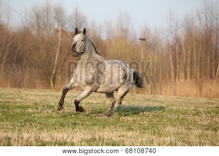 Gorgeous Appaloosa Running In Spring Nature