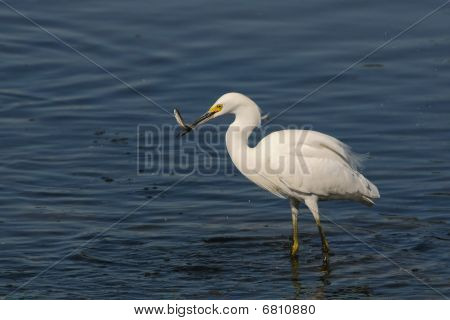 Snowy egret catching a fish