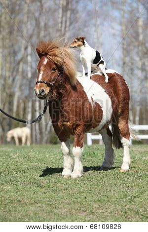Nice Shetland Pony With Parson Russell Terrier