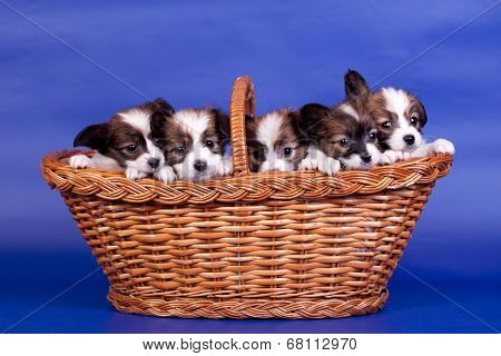 Five Papillon Puppies in basket on blue