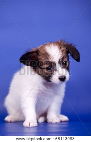 Papillon Puppy on blue background