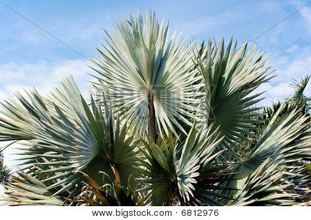 Bismarck Palm Against Sky