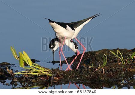 Black-necked Stilts (himantopus Mexicanus)