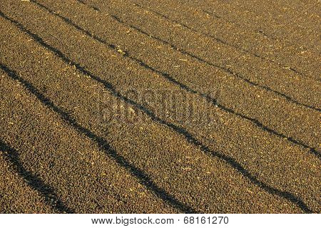 Coffee Drying At The Sun