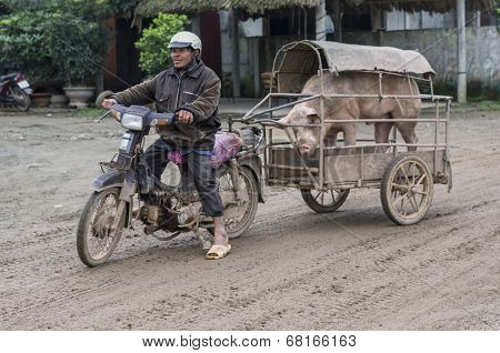 Merchant On Motorcycle Brings His Boar To The Sow To Procreate.