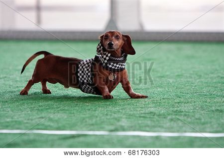 Cute Dachshund Wears Checkered Flag Outfit At Dog Festival