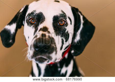 Close Up Of The Face Of A Dalmatian Dog