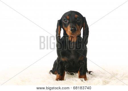 Dachshund puppy on white