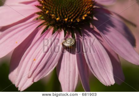 Small snail on the petals of a purple cone flower. poster