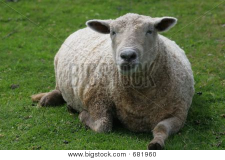 Daddy Sheep