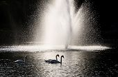 Three Mute Swans Silhouetted By White Fountain Spray poster