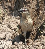 White-browed Coucal (Centropus superciliosus) searching for insects on the ground in Zambia. poster