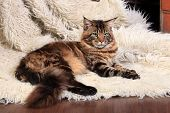 Brown Tabby Maine Coon on the white fur rug poster