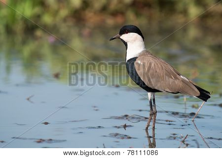 Spur-winged Lapwing (vanellus Spinosus) Standing In A Shallow Pond