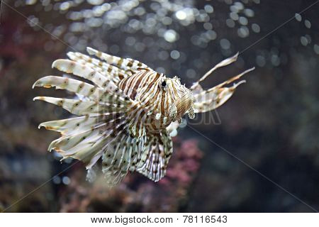 Focus The Lionfish And Dangerous.