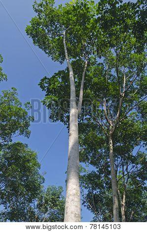 Brazilian hevea - rubber tree (lat. Hevea brasiliensis)