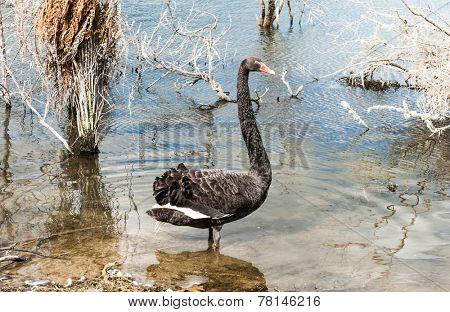 Black swan (Cygnus atratus) seen near Rotorua, New Zealand